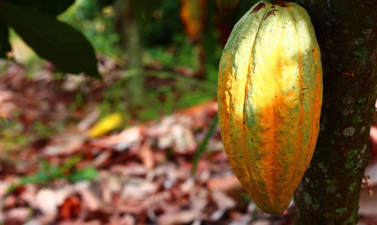 Alo Pianta Cacao Alo